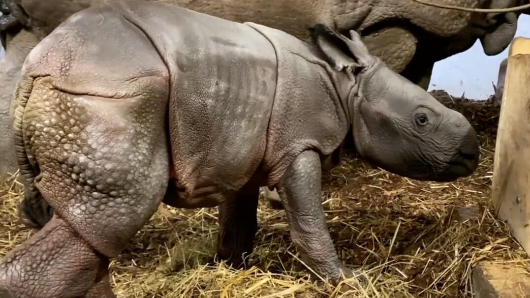 We wrocławskim zoo urodził się nosorożec. Maluch stawia pierwsze kroki