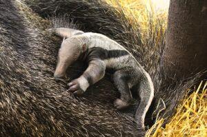 W zoo urodził się mrówkojad. Zamiast mrówek - wołowina