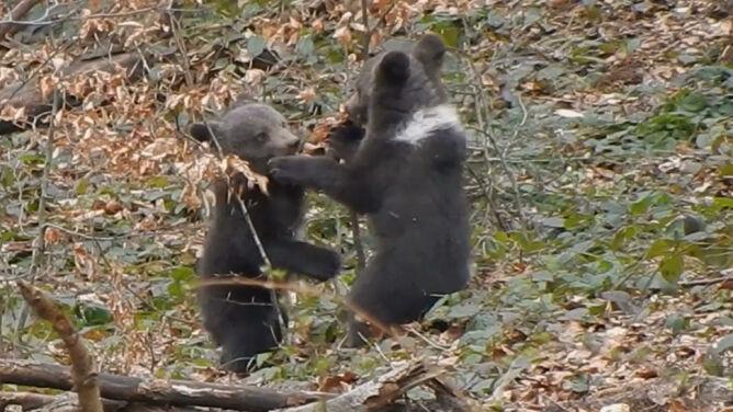 """Spotkał dwa bawiące się niedźwiadki. """"Odradzam chodzenie w takie miejsca"""""""