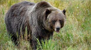 Do ataku niedźwiedzia doszło w Parku Narodowym Yellowstone