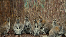 Stadko walabiii z wrocławskiego zoo