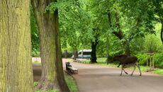 Łoś w Parku Skaryszewskim w Warszawie (Eliza Kruczkowska)